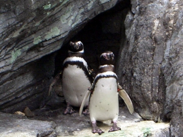 medium_pinguins-aceanario_de_lisboa.jpg